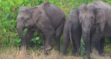 Bantu pembersihan jerat satwa di koridor gajah