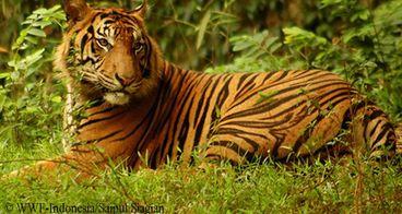 Harapan untuk Harimau Sumatera